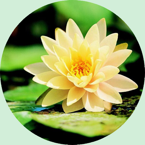 Perennial Water Lily
