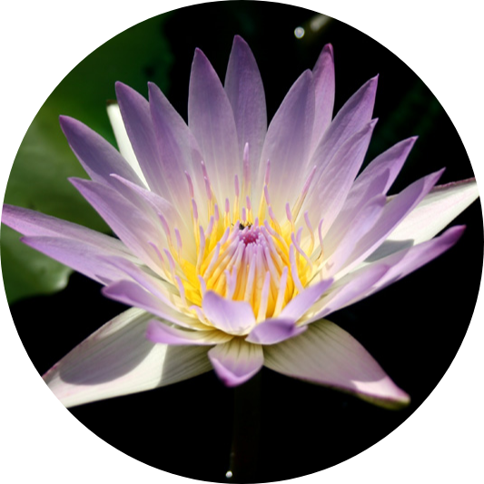 Hilary, Annual Water Lily
