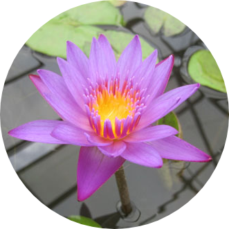 Panama Pacific, Annual Water Lily