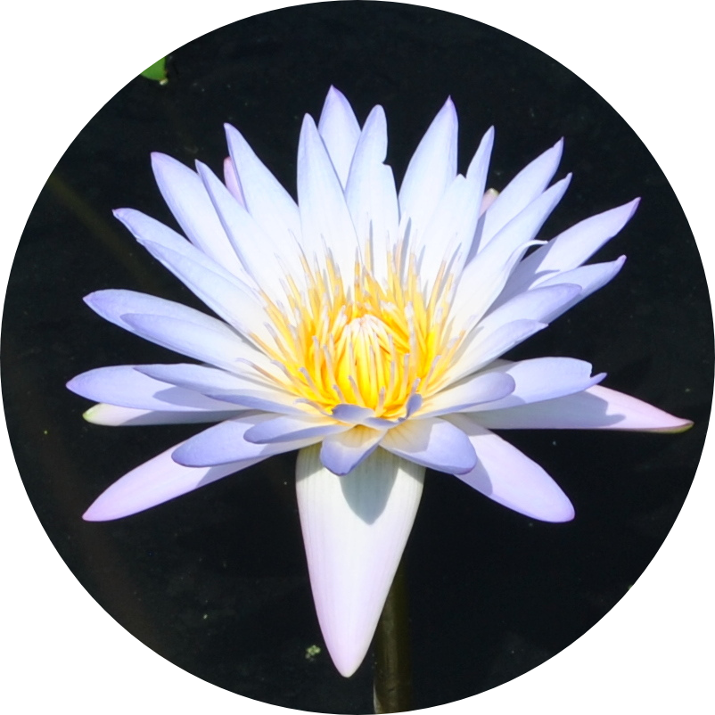 Blink, Annual Water Lily