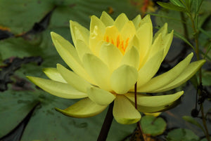 Live Aquatic Water Lily | Pre-grown, Pre-rooted, Drop-N-Grow Convenience