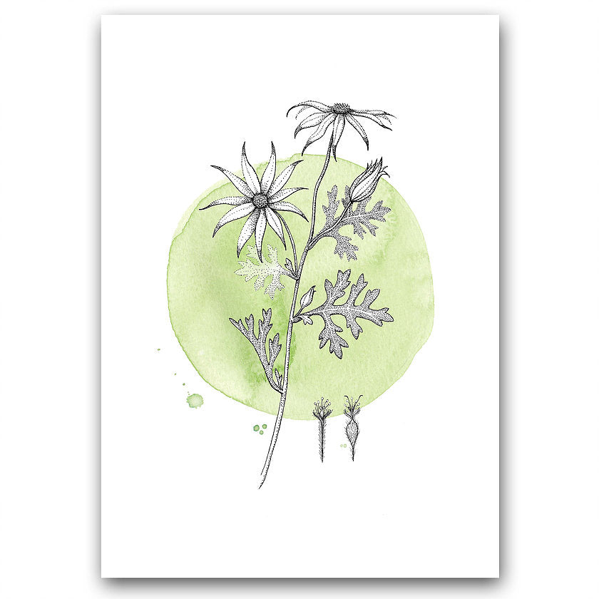 Print of Nicole Berlach's 'Flannel Flower on Green' watercolour available at Tribe Castlemaine