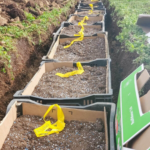daffodil bulbs planted in crates