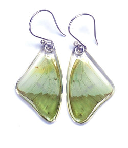 Butterfly earrings, Charaxes Eupale, top wings