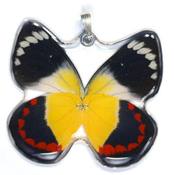Whole Butterfly Pendant Only, SS bail, Timor Butterfly