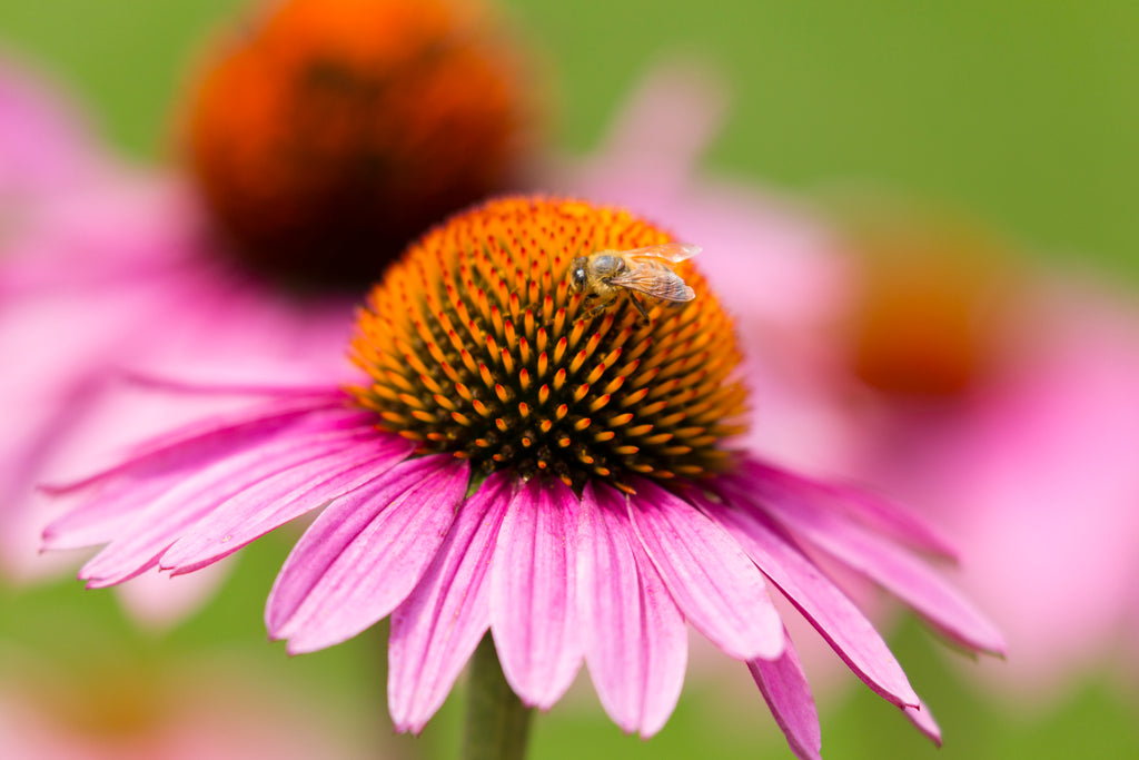 A pink and purple flower with a bee on top of the yellowish middle stub on the flower