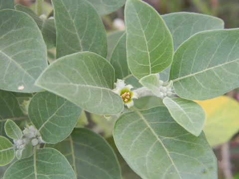 Picture of Ashwagandha plant