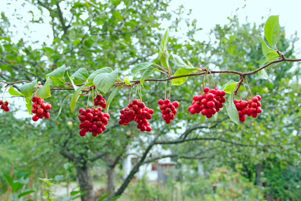 A line of red Schisandra berries hanging on a tree in a forest on a sunny spring day