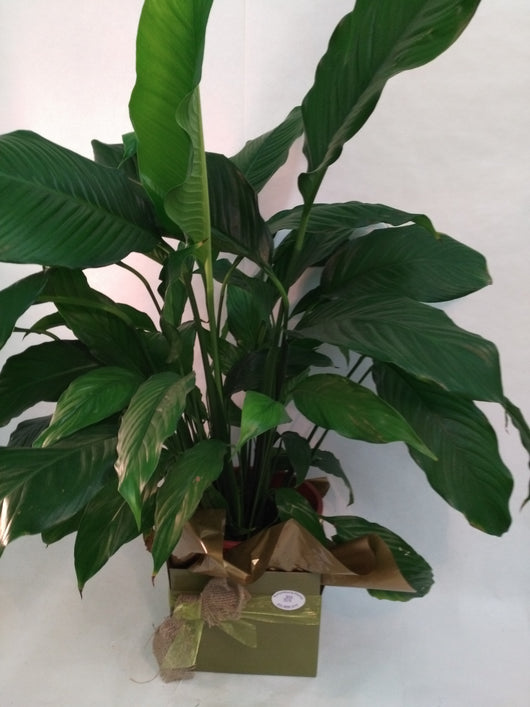 Flowering Peace Lily