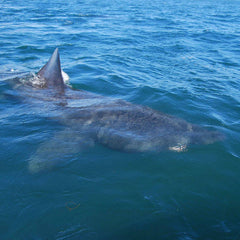 Basking Shark Boat Trips