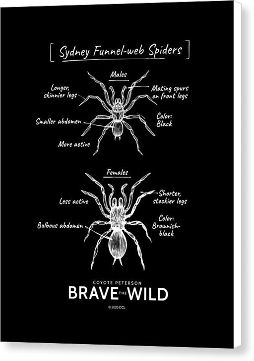 Funnel-Web Spiders - Canvas Print