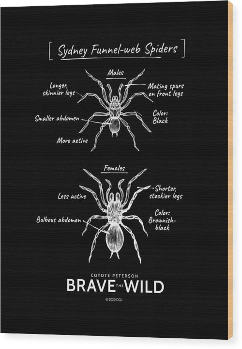 Funnel-Web Spiders - Wood Print