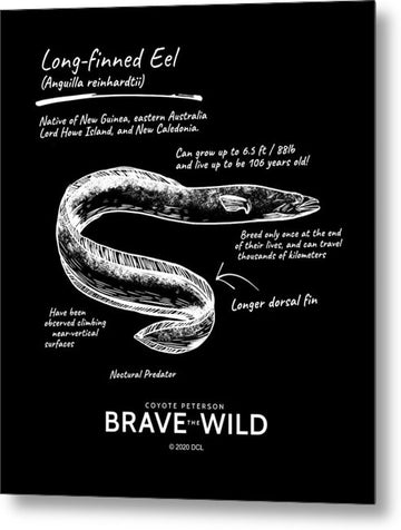 Long Finned Eel - Metal Print