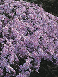 Candy Stripe Phlox