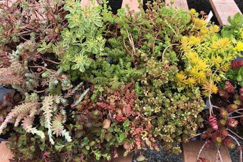 Assorted Sedum Tray