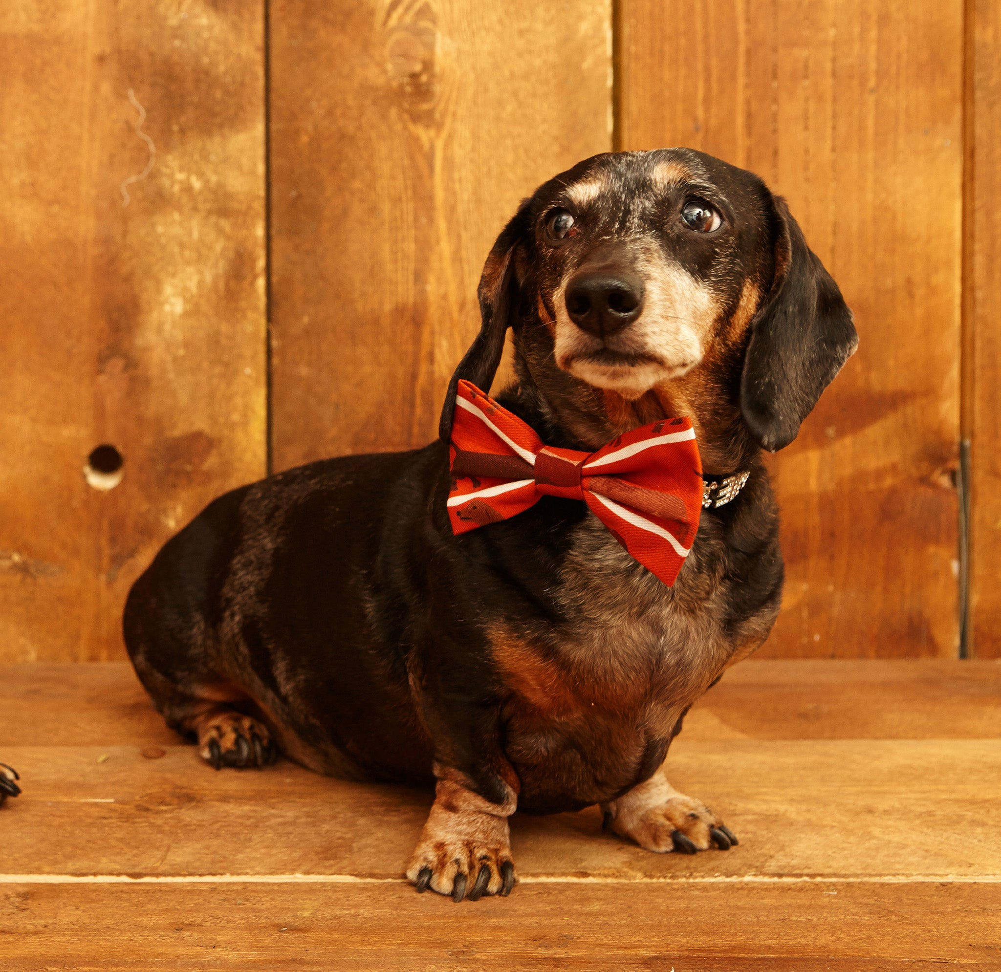 Dog Bow Tie - Rust Sausage Dog - Palava