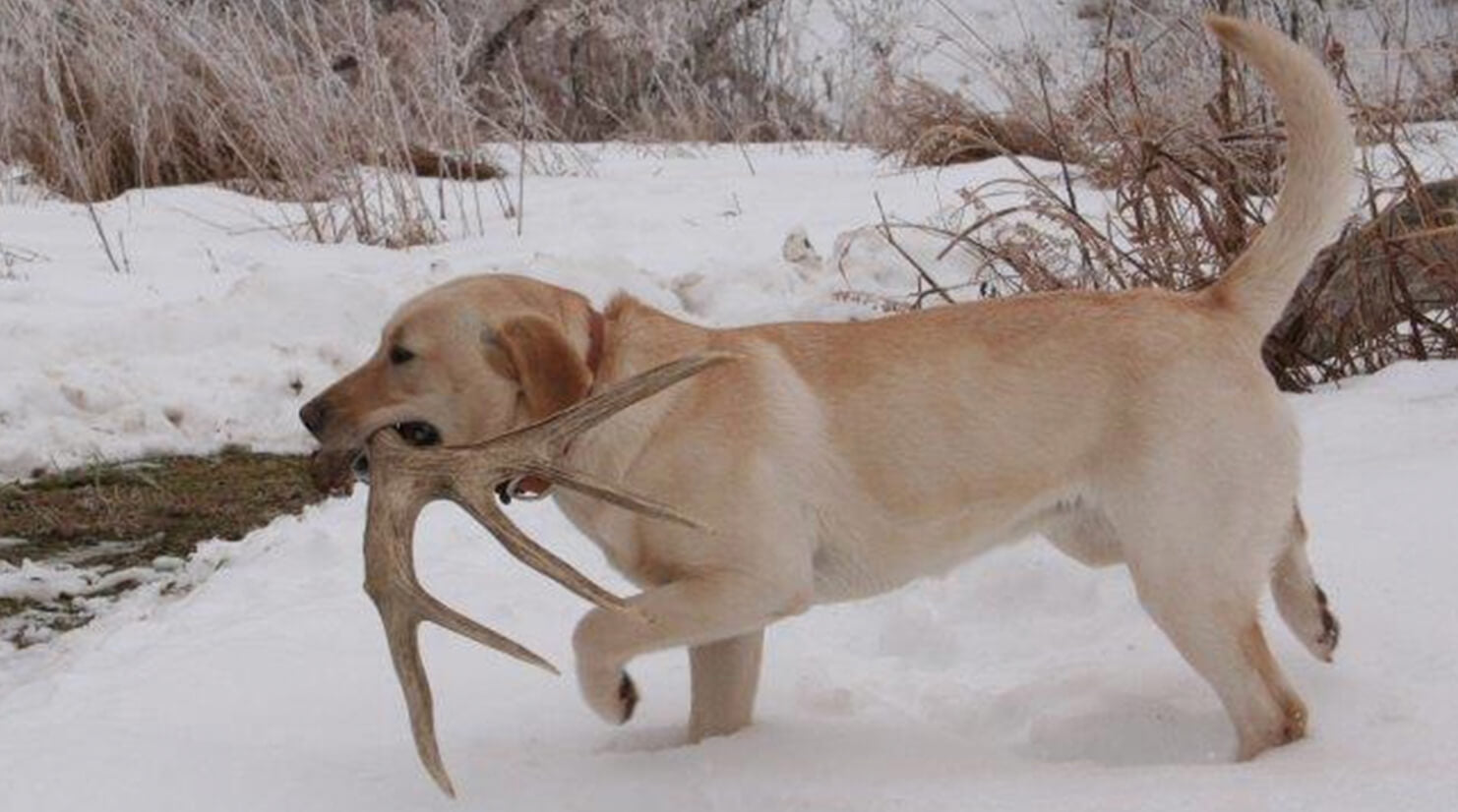Train Your Dog to Be a Shed Antler Hunter