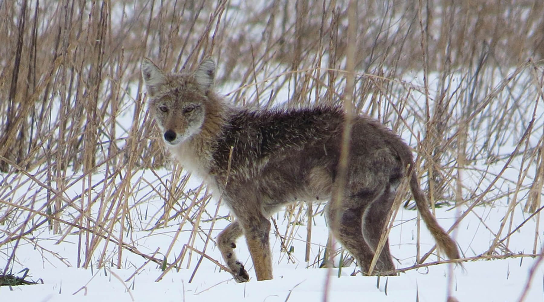 Coyote Hunting Tips And Techniques