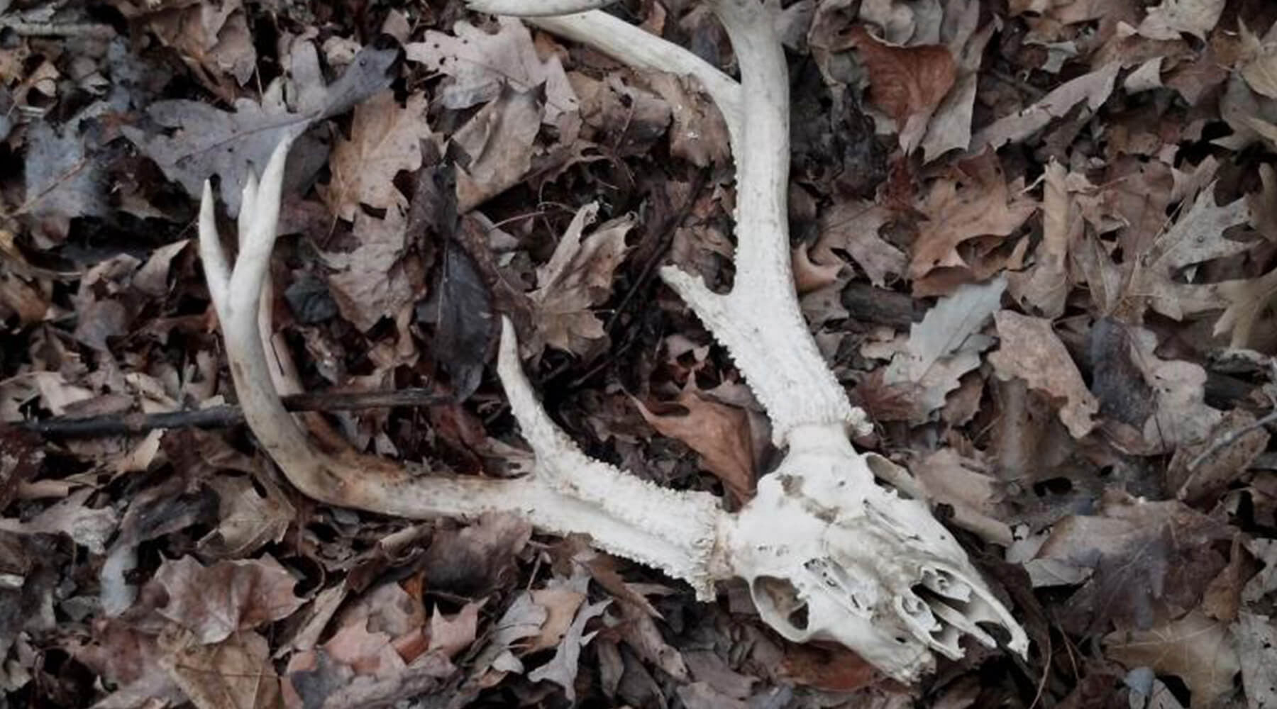 Shed Antler Hunting: The Aftermath of EHD