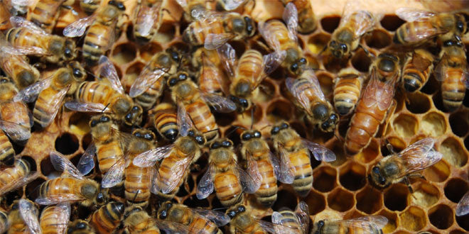 Bees, Colony Collapse Disorder, HYPOTHESIS