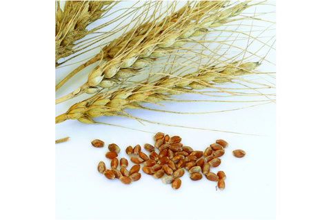 Johnny's Selected Seeds - Spring Wheat (Glenn)