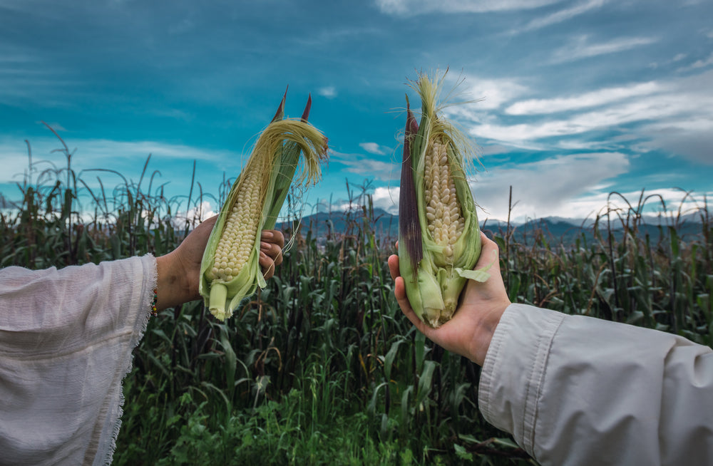 Two arms extended showcasing ears of corn against the backdrop of a harvest