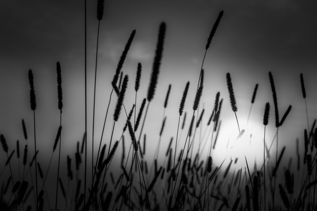 Field Sunset - Black and White