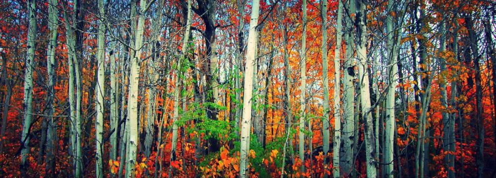 Birch Trees Panoramic