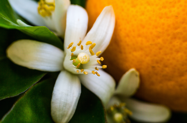 Neroli is a fabulous oil for skincare