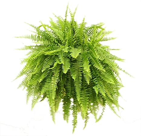 Load image into Gallery viewer, Fern Plant