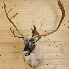 Mounted Caribou for Sale