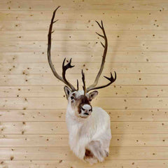 Taxidermied Caribou Head for Sale