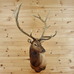 Mounted Elk Head for Sale