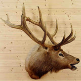 Elk Taxidermy Mount