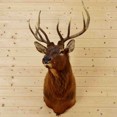 Elk Head for Sale