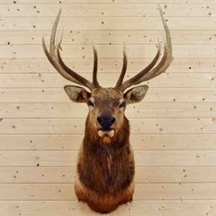 Taxidermied Elk for Sale