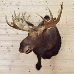 Mounted Moose Head for Sale