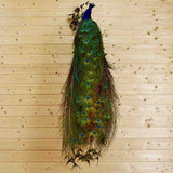 Mounted Peacock for Sale
