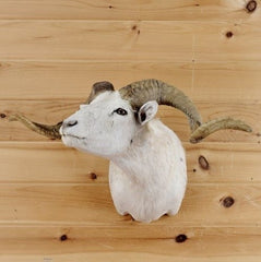 Selling Sheep Taxidermy