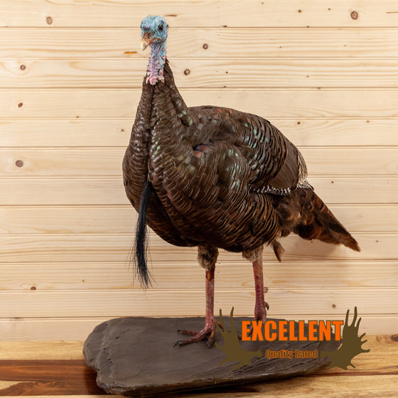 eastern turkey bearded hen taxidermy mount for sale