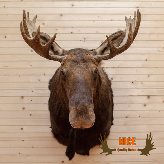 Montana Moose Taxidermy Mount  - SW10014