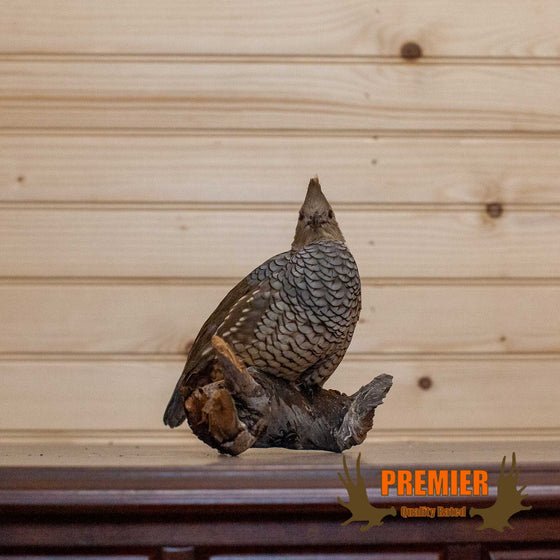 Scaled Quail Taxidermy Mount - SW10125