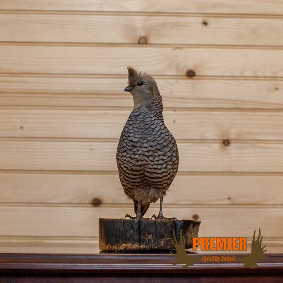 Scaled Quail Taxidermy Mount - SW10126