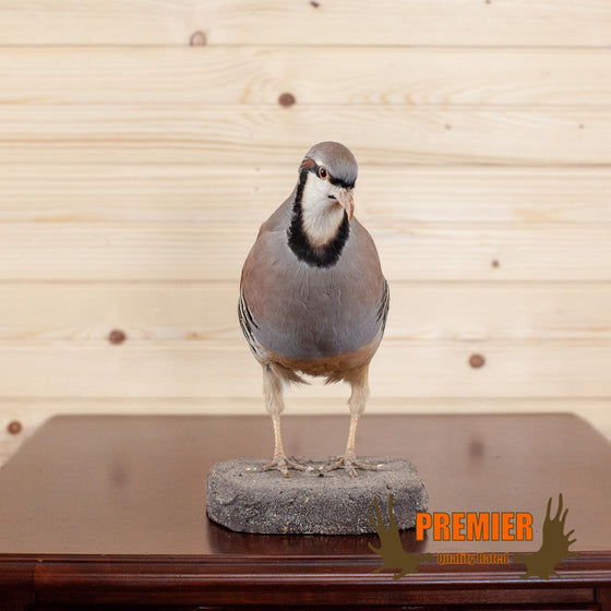 Chukar Perched - Taxidermy Tabletop Mount - SW10030