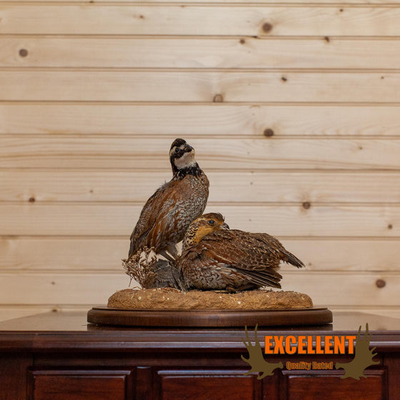 bobwhite quail pair taxidermy mount for sale
