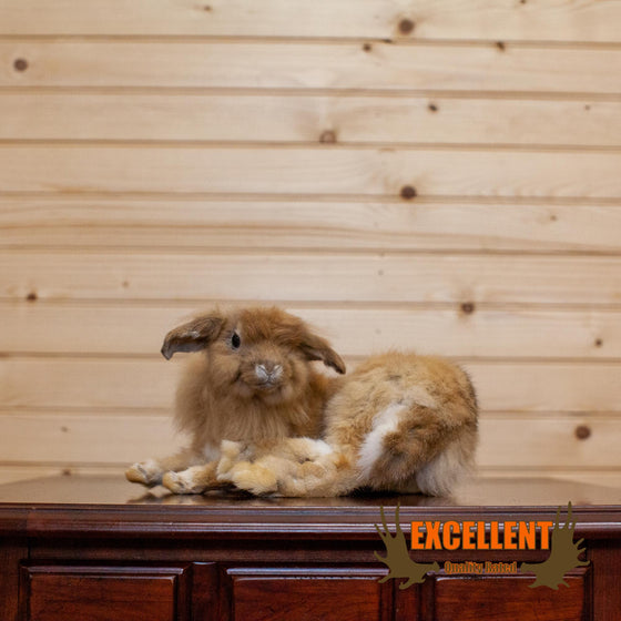 full body lionhead rabbit taxidermy mount for sale