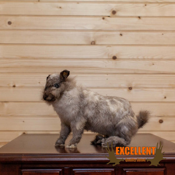 lionhead rabbit full body taxidermy mount for sale