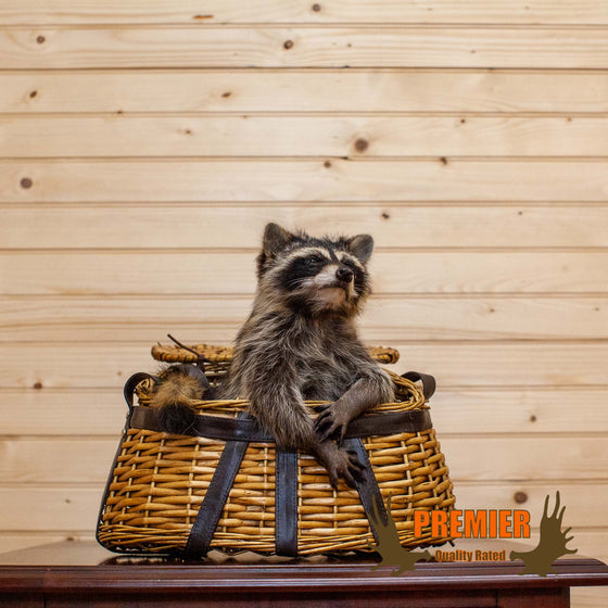 Raccoon in Fishing Creel Taxidermy Mount - SW10140