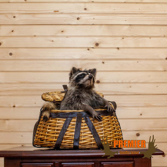 Raccoon in Fishing Creel Taxidermy Mount - SW10141