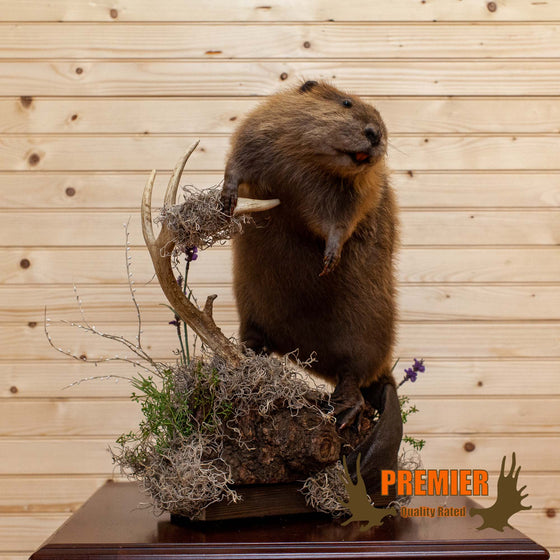 Beaver Taxidermy Mount - SW10149
